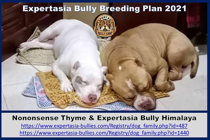 Breeding program - Expertasia Bullies - Thym and Himalaya