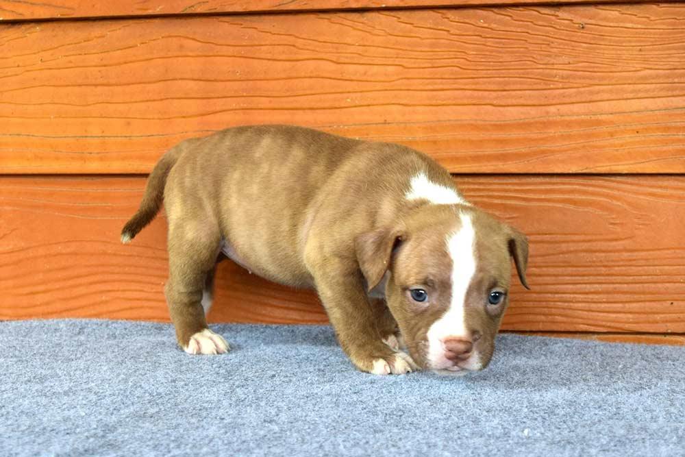 NONONSENSE THYME & EXPERTASIA HIMALAYA - female puppy 2