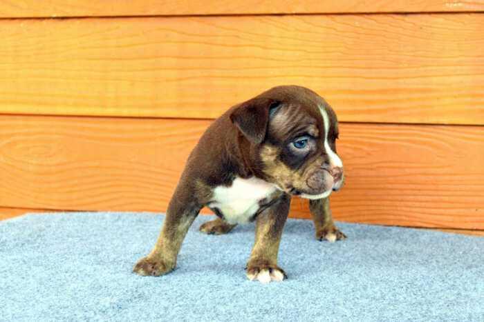 NONONSENSE THYME & EXPERTASIA HIMALAYA - female puppy 1