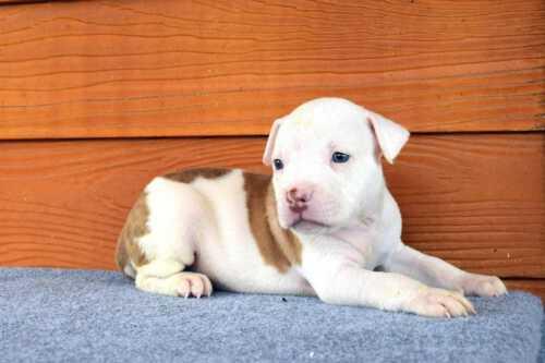 NONONSENSE THYME & EXPERTASIA HIMALAYA - female puppy 4