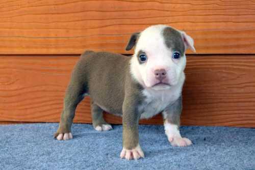 NONONSENSE THYME & EXPERTASIA HIMALAYA - female puppy 6