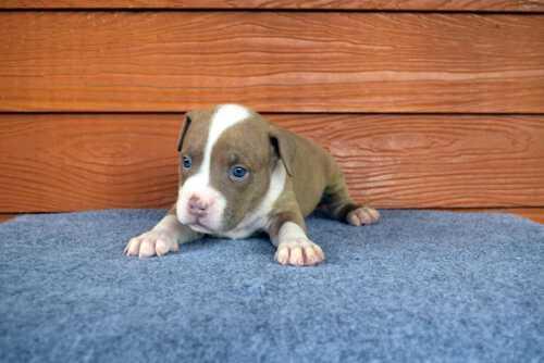 NONONSENSE THYME & EXPERTASIA HIMALAYA - male puppy 2