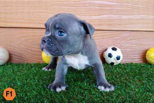 DOI DEVIL & DREAM - Female Bully Puppy for Sale 1