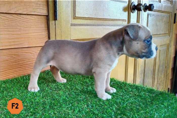 Female Bully puppy for sale 2 - Fawn - Ebony & Cindy