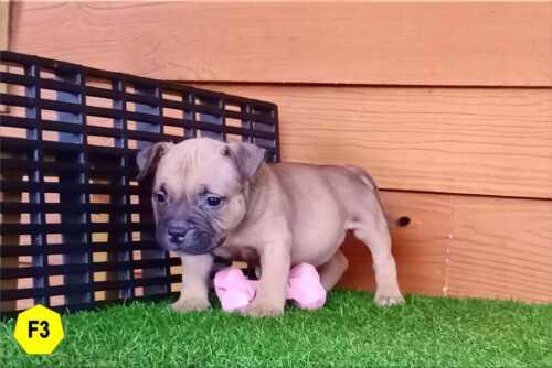 Female Bully puppy for sale 3 - Fawn - Ebony & Cindy