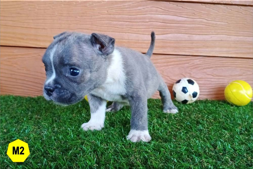 Male Bully puppy for sale 2 - Blue Brindle - Doi Devil & Dream