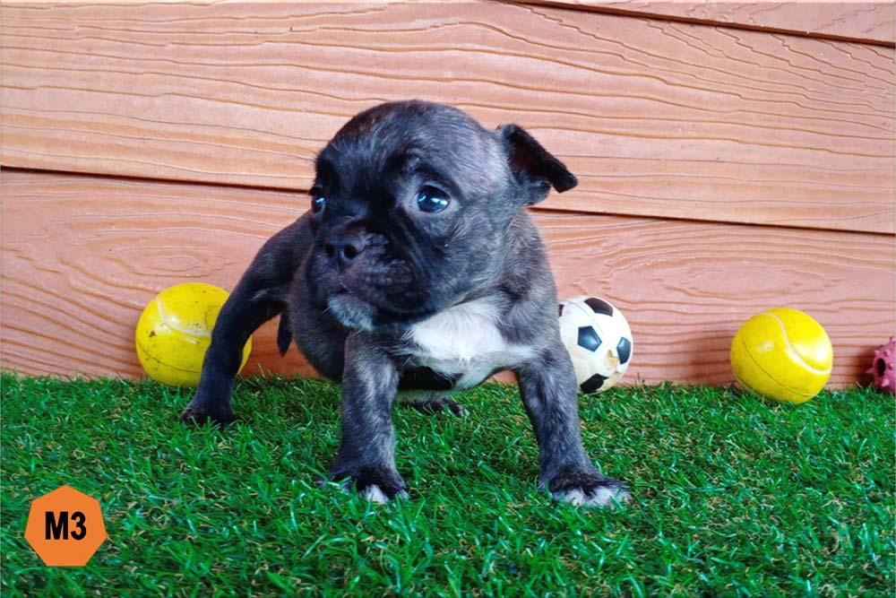 Male Bully puppy for sale 3 - Black Brindle - Doi Devil & Dream