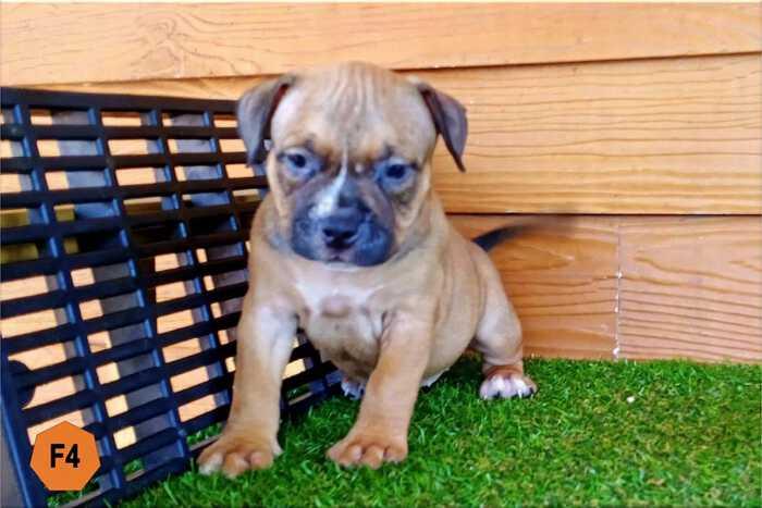 Female Bully puppy for sale 4 - Fawn - Ebony & Cindy